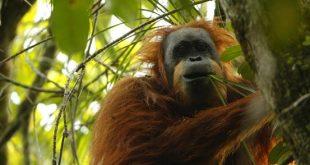 Orango di Tapanuli: scoperta una nuova specie di scimmia
