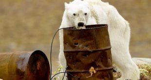L'orso polare morente che ha commosso il mondo