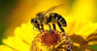 Ape prende polline da fiore giallo
