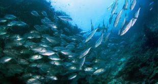 Banco tonni nuota nel mare